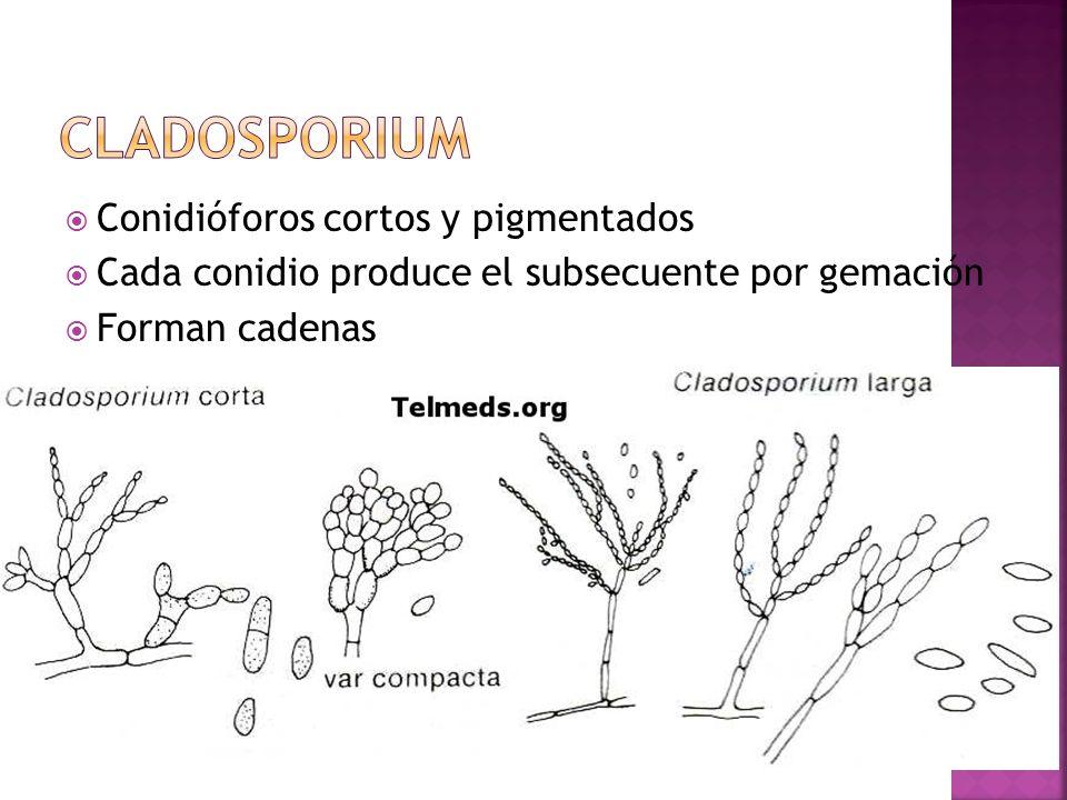 Conidióforos cortos y pigmentados Cada conidio produce el subsecuente por gemación Forman cadenas