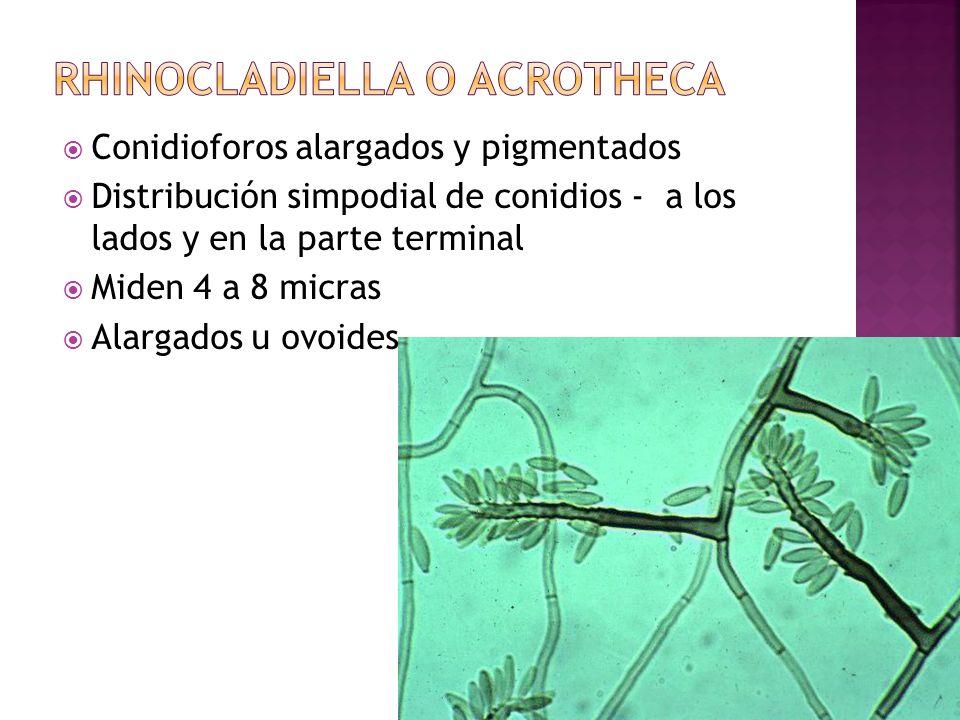 Conidioforos alargados y pigmentados Distribución simpodial de conidios - a los lados y en la parte terminal Miden 4 a 8 micras Alargados u ovoides