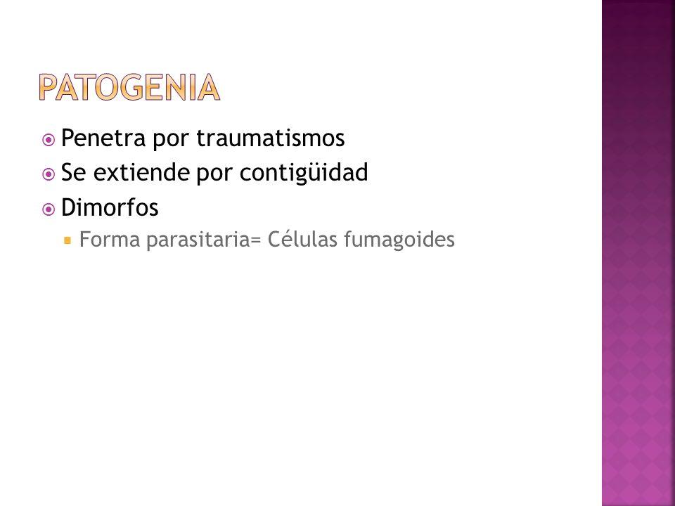 Penetra por traumatismos Se extiende por contigüidad Dimorfos Forma parasitaria= Células fumagoides
