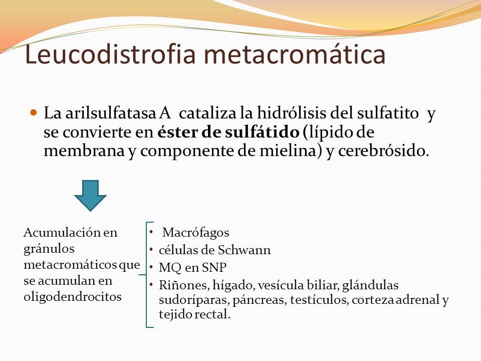 Leucodistrofia metacromática La arilsulfatasa A cataliza la hidrólisis del sulfatito y se convierte en éster de sulfátido (lípido de membrana y compon