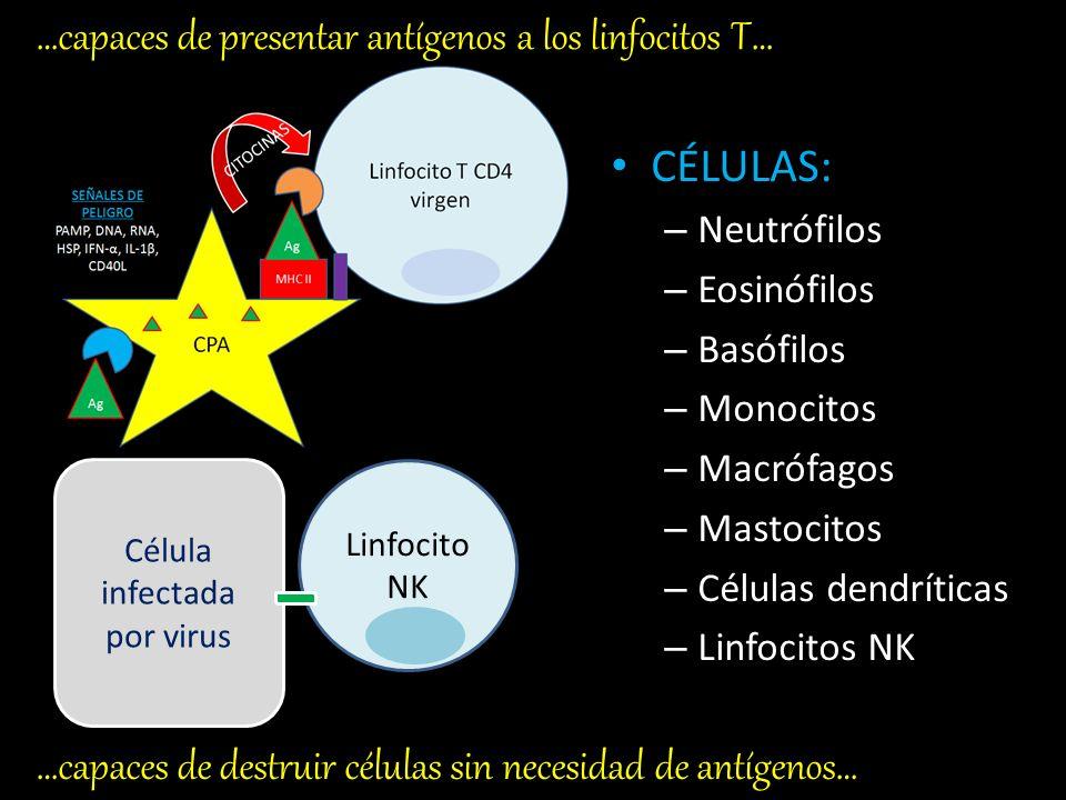 CÉLULAS: – Neutrófilos – Eosinófilos – Basófilos – Monocitos – Macrófagos – Mastocitos – Células dendríticas – Linfocitos NK BACTERIA Células capaces