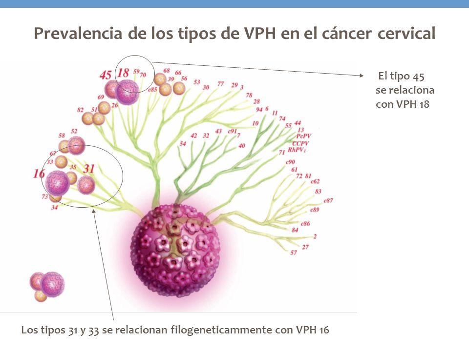 El tipo 45 se relaciona con VPH 18 Prevalencia de los tipos de VPH en el cáncer cervical Los tipos 31 y 33 se relacionan filogeneticammente con VPH 16