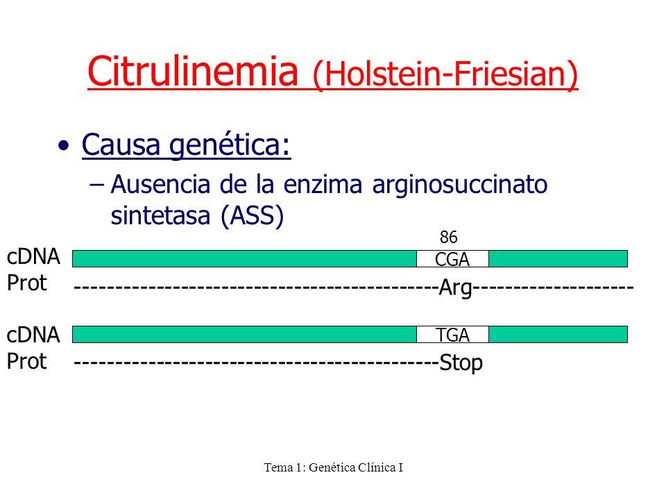Tema 1: Genética Clínica I Causa genética: –Ausencia de la enzima arginosuccinato sintetasa (ASS) Citrulinemia (Holstein-Friesian) CGA 86 cDNA Prot --
