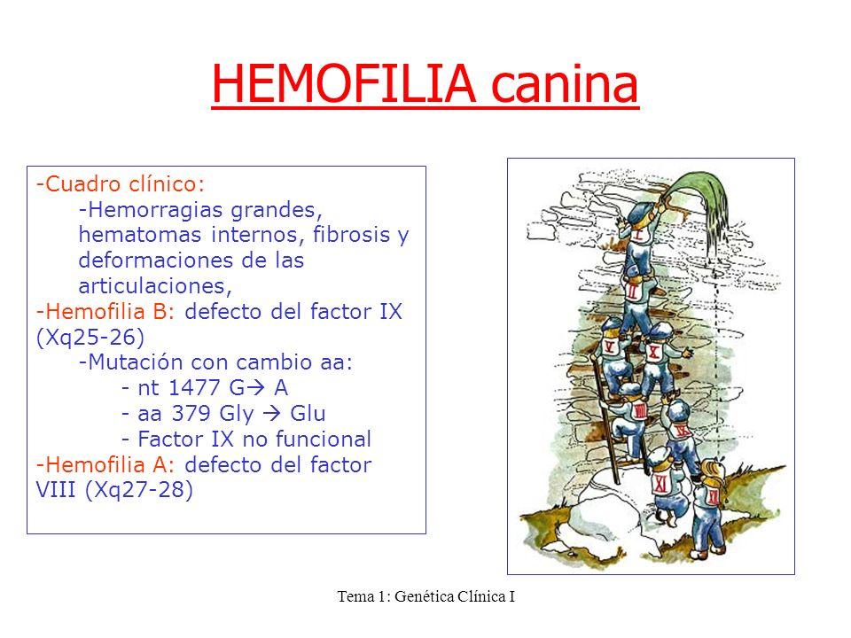 Tema 1: Genética Clínica I HEMOFILIA canina -Cuadro clínico: -Hemorragias grandes, hematomas internos, fibrosis y deformaciones de las articulaciones,