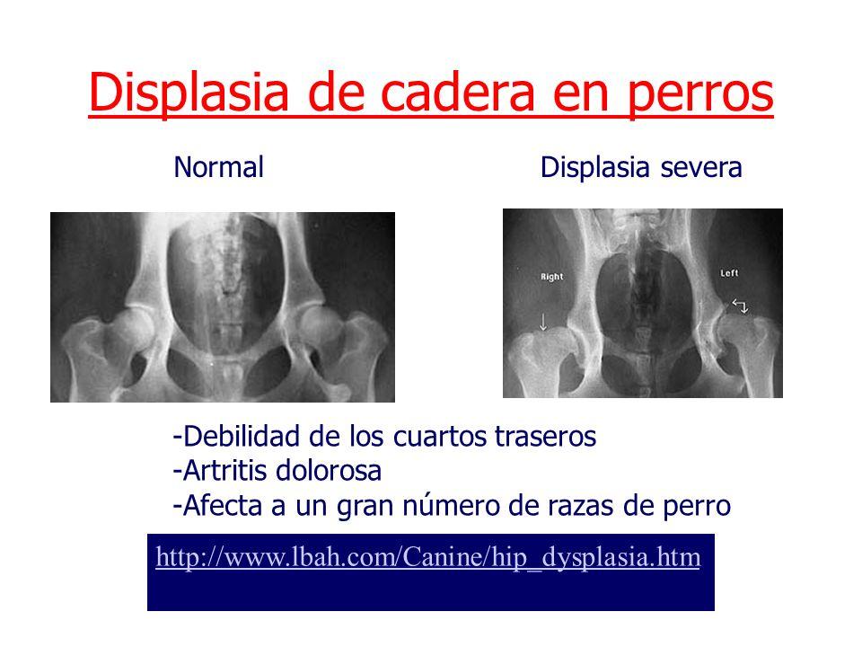 Tema 1: Genética Clínica I Displasia de cadera en perros http://www.lbah.com/Canine/hip_dysplasia.htm NormalDisplasia severa -Debilidad de los cuartos