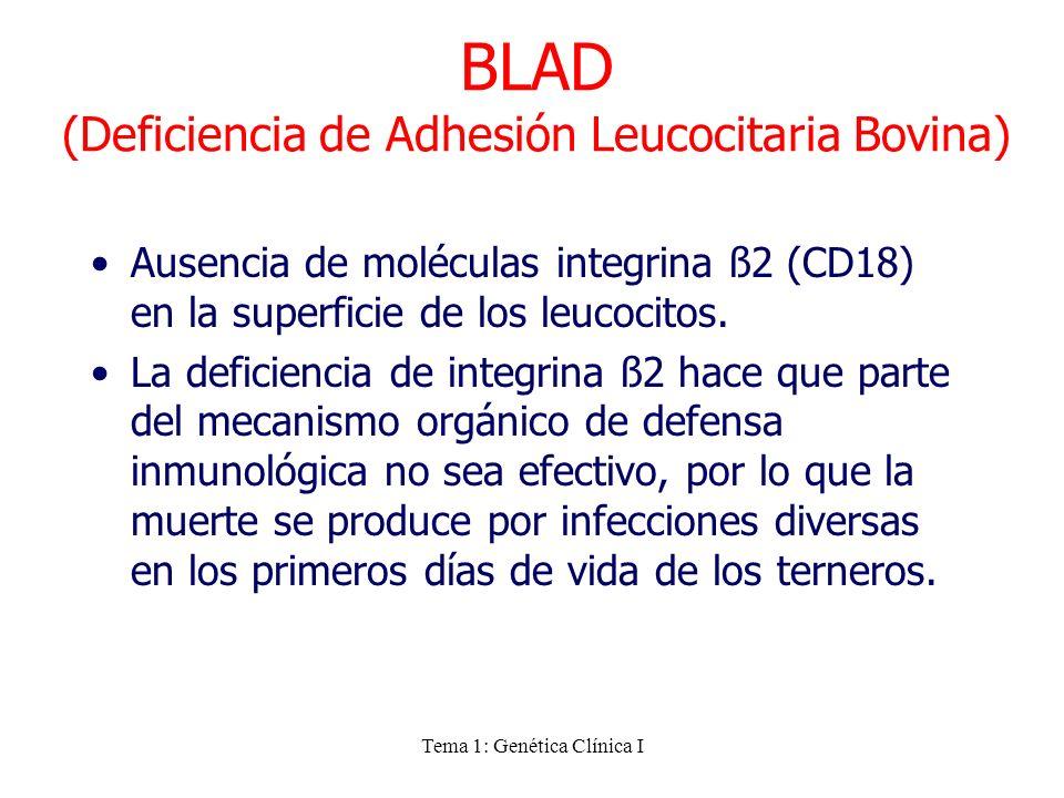 Tema 1: Genética Clínica I BLAD (Deficiencia de Adhesión Leucocitaria Bovina) Ausencia de moléculas integrina ß2 (CD18) en la superficie de los leucoc