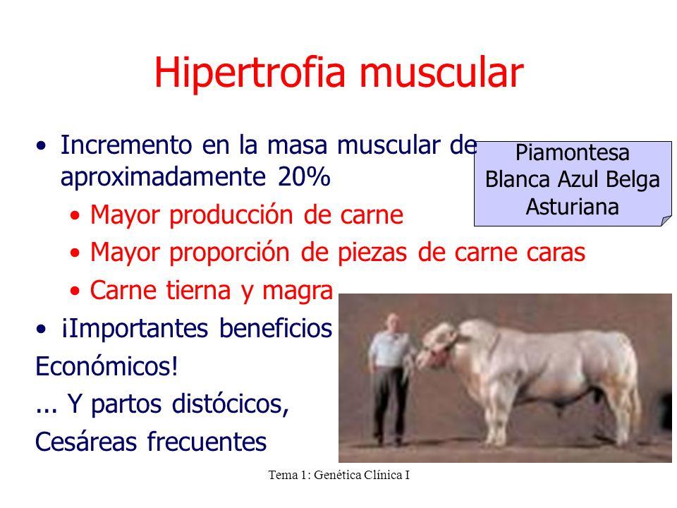 Tema 1: Genética Clínica I Piamontesa Blanca Azul Belga Asturiana Hipertrofia muscular Incremento en la masa muscular de aproximadamente 20% Mayor pro