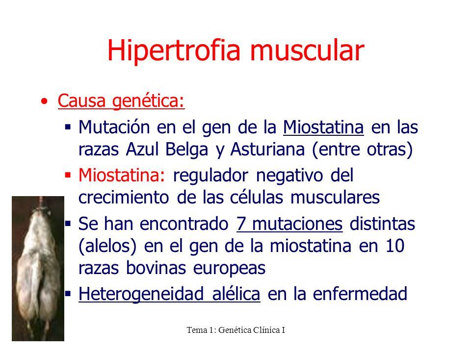 Tema 1: Genética Clínica I Hipertrofia muscular Causa genética: Mutación en el gen de la Miostatina en las razas Azul Belga y Asturiana (entre otras)