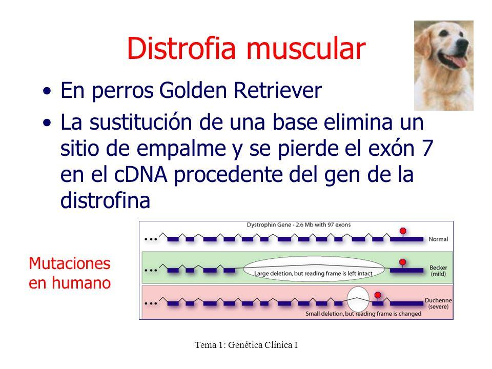 Tema 1: Genética Clínica I Distrofia muscular En perros Golden Retriever La sustitución de una base elimina un sitio de empalme y se pierde el exón 7