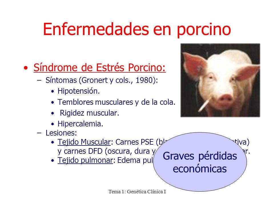 Tema 1: Genética Clínica I Enfermedades en porcino Síndrome de Estrés Porcino: –Síntomas (Gronert y cols., 1980): Hipotensión. Temblores musculares y