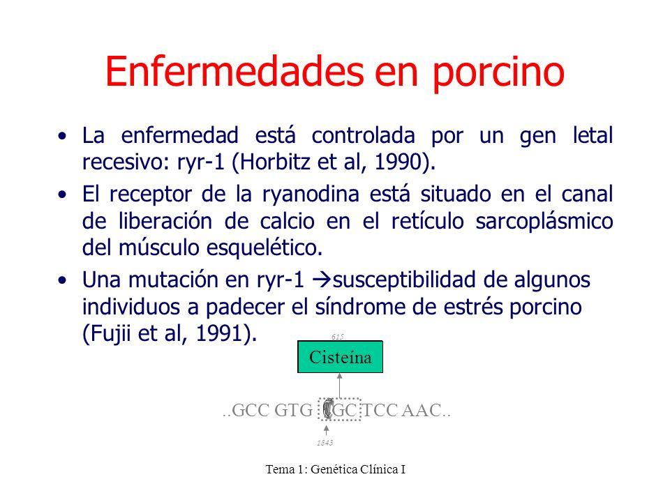 Tema 1: Genética Clínica I La enfermedad está controlada por un gen letal recesivo: ryr-1 (Horbitz et al, 1990). El receptor de la ryanodina está situ