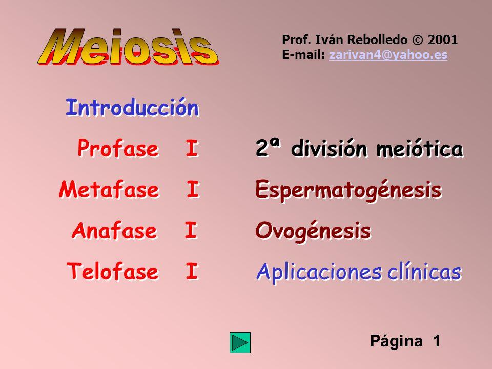 Página 22 Espermatogénesis 4646 9292 9292 46 cromosomas dobles, 92 cromátidas 92 moléculas de ADN Espermatocito I Meiosis I 2323 4646 4646 2323 4646 4646 Espermatocito II 23 cromosomas dobles, 46 cromátidas 46 moléculas de ADN Prof.