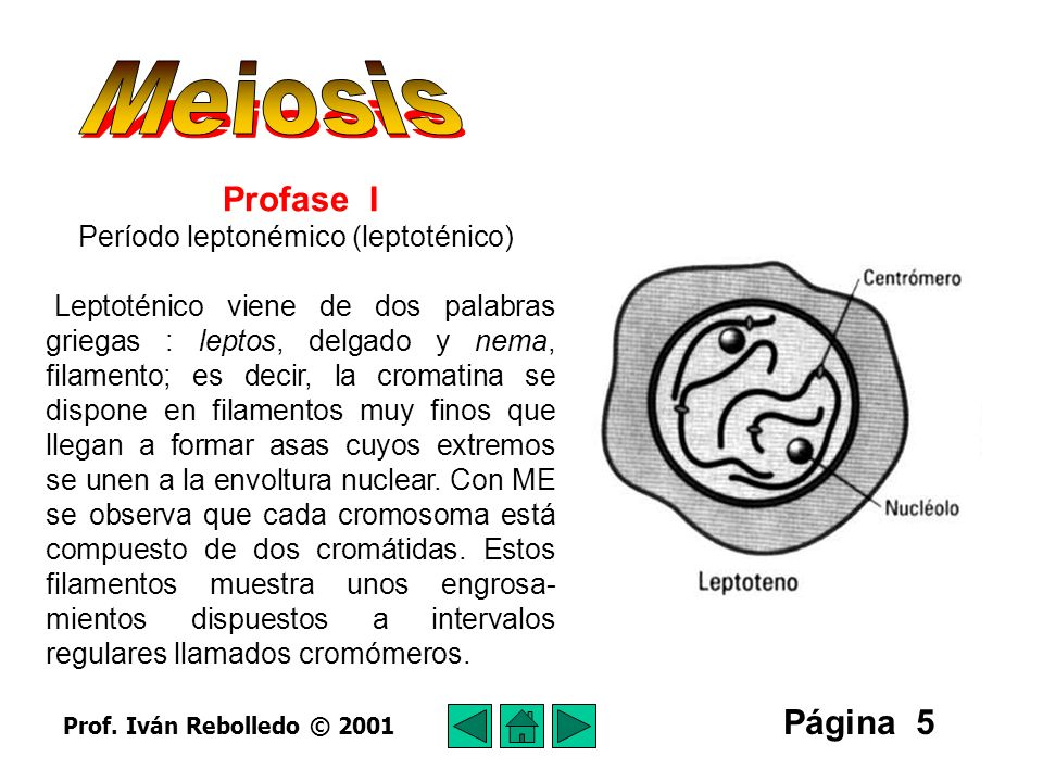 Página 6 Período cigonémico (cigoténico) Cigonémico viene de la palabra griega cygon, que significa adjunto.