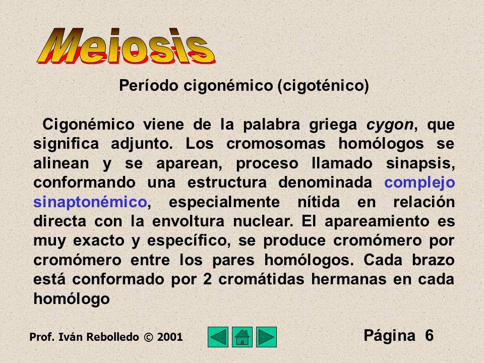 Página 7 Se considera al complejo sinaptonémico como la estructura básica del apareamiento de los cromosomas homólogos meióticos.