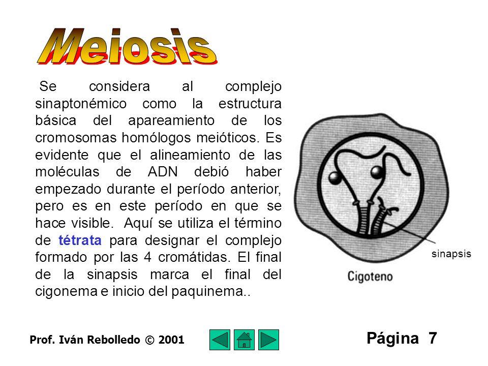 Página 8 Período paquinémico (paquiténico) El nombre viene de la palabra griega pachus, que significa grueso.