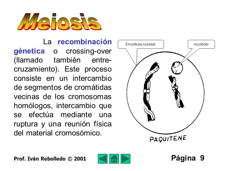 Página 10 Período diplonémico (diploténico) Se inicia la separación de los cromosomas que están en sinapsis, quedando asociadas solo las cromátidas que han experimentado la recombinación genética.