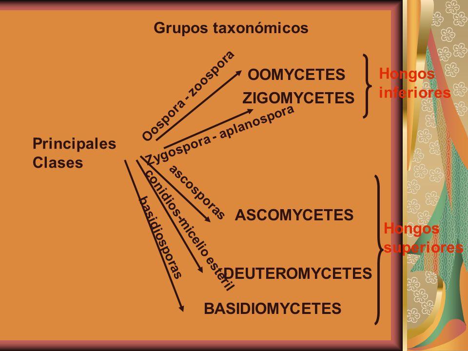 Grupos taxonómicos OOMYCETES ZIGOMYCETES Hongos inferiores ASCOMYCETES DEUTEROMYCETES BASIDIOMYCETES Hongos superiores Principales Clases Oospora - zo
