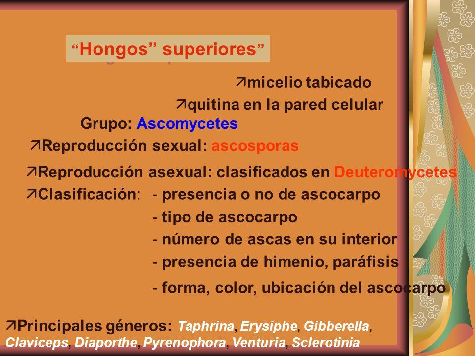 Hongos Inferiores Hongos Superiorers: Hongos Inferiores Hongos superiores ä micelio tabicado ä quitina en la pared celular Grupo: Ascomycetes ä Reprod