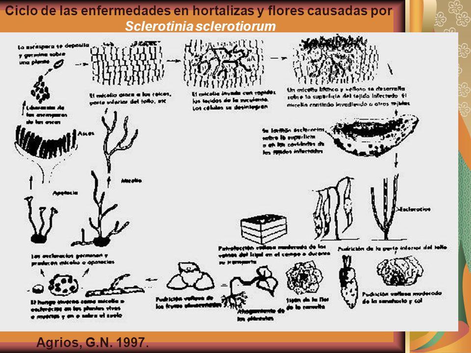 Ciclo de las enfermedades en hortalizas y flores causadas por Sclerotinia sclerotiorum Agrios, G.N. 1997.