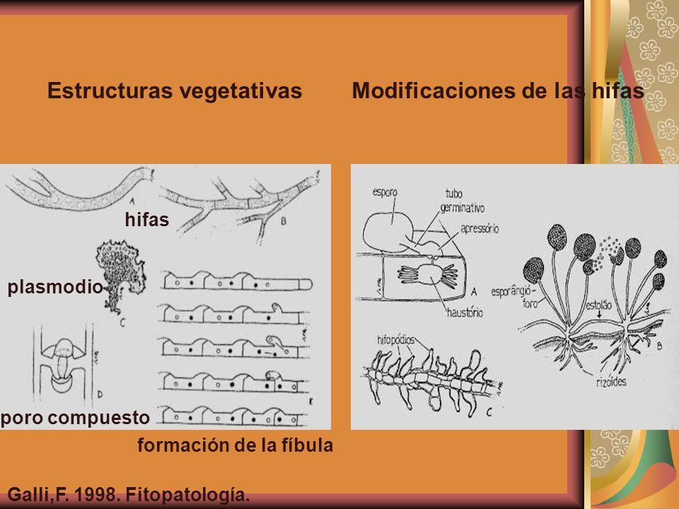 hifas plasmodio poro compuesto formación de la fíbula Galli,F. 1998. Fitopatología. Estructuras vegetativasModificaciones de las hifas