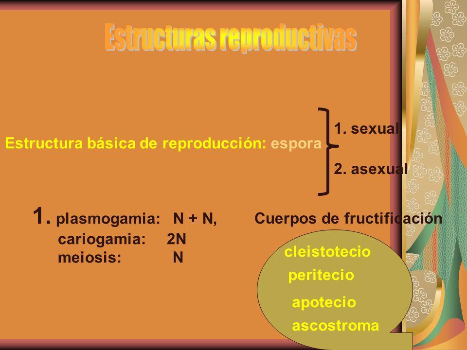 Estructura básica de reproducción: espora 1. sexual 2. asexual 1. plasmogamia: N + N, cariogamia: 2N meiosis: N Cuerpos de fructificación cleistotecio