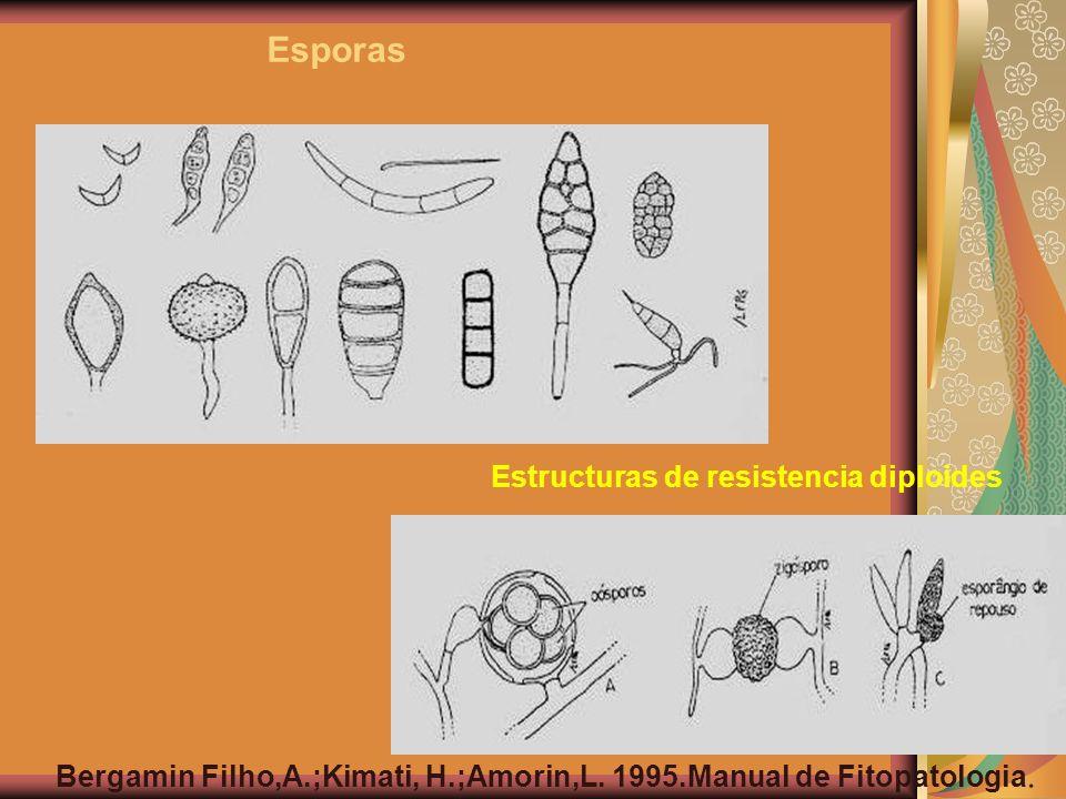 Estructuras de resistencia diploides Esporas Bergamin Filho,A.;Kimati, H.;Amorin,L. 1995.Manual de Fitopatologia.