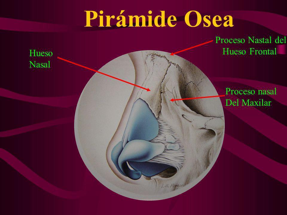 Pirámide Osea Proceso Nastal del Hueso Frontal Proceso nasal Del Maxilar Hueso Nasal