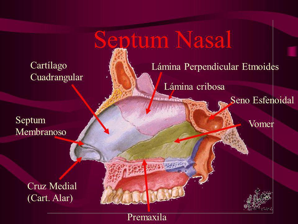 Septum Nasal Cartílago Cuadrangular Lámina Perpendicular Etmoides Lámina cribosa Seno Esfenoidal Vomer Premaxila Cruz Medial (Cart. Alar) Septum Membr