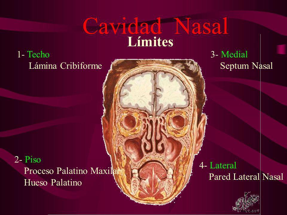 Cavidad Nasal Límites 1- Techo Lámina Cribiforme 2- Piso Proceso Palatino Maxilar Hueso Palatino 3- Medial Septum Nasal 4- Lateral Pared Lateral Nasal