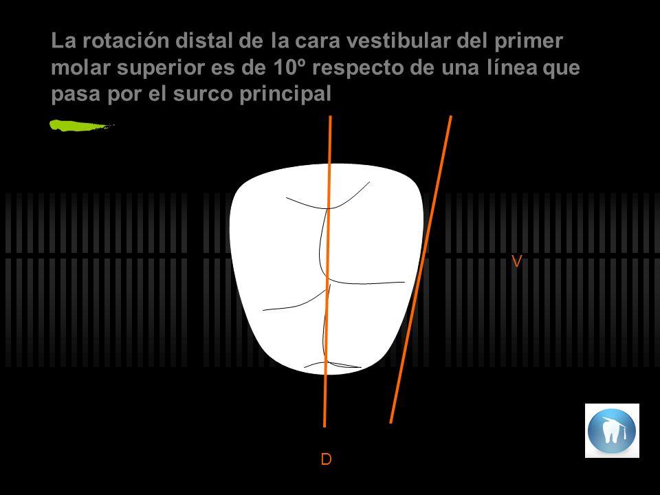La rotación distal de la cara vestibular del primer molar superior es de 10º respecto de una línea que pasa por el surco principal V D