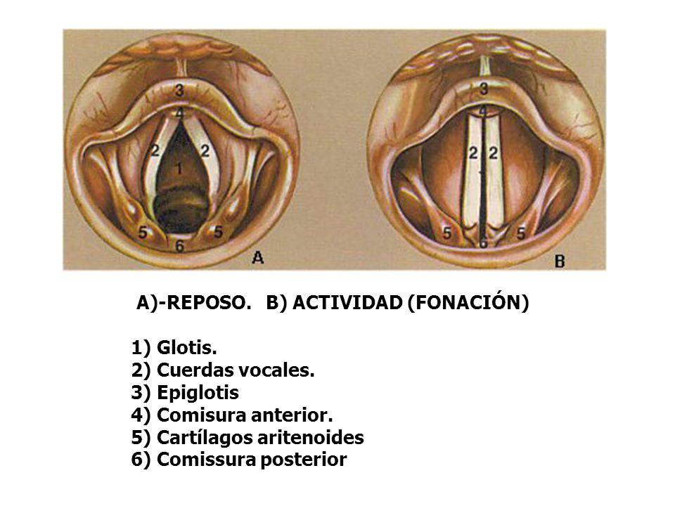 A)-REPOSO. B) ACTIVIDAD (FONACIÓN) 1) Glotis. 2) Cuerdas vocales. 3) Epiglotis 4) Comisura anterior. 5) Cartílagos aritenoides 6) Comissura posterior