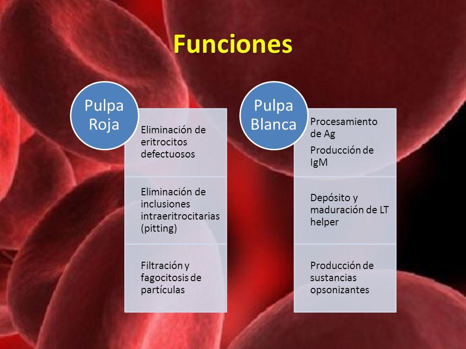 Funciones Eliminación de eritrocitos defectuosos Eliminación de inclusiones intraeritrocitarias (pitting) Filtración y fagocitosis de partículas Pulpa