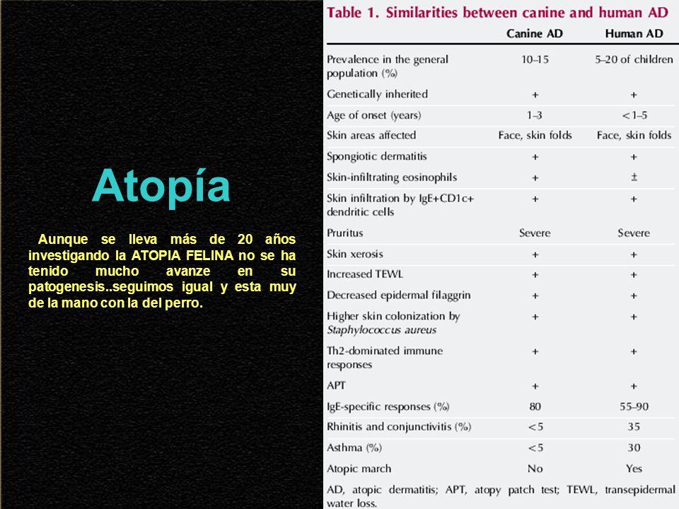 Atopía Aunque se lleva más de 20 años investigando la ATOPIA FELINA no se ha tenido mucho avanze en su patogenesis..seguimos igual y esta muy de la ma