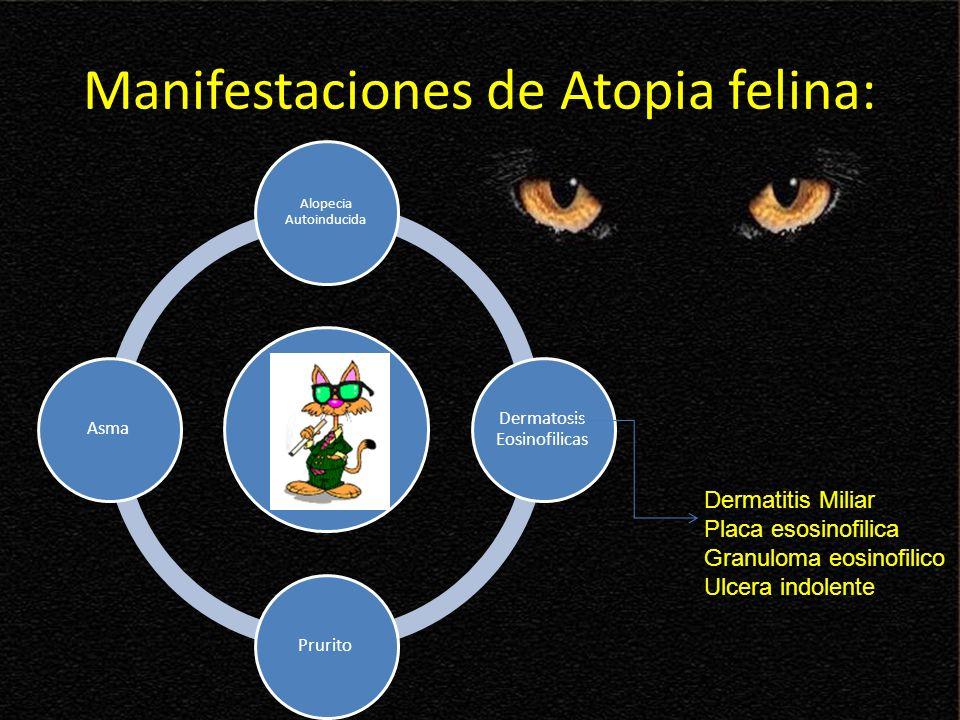 Manifestaciones de Atopia felina: Alopecia Autoinducida Dermatosis Eosinofilicas PruritoAsma Dermatitis Miliar Placa esosinofilica Granuloma eosinofil