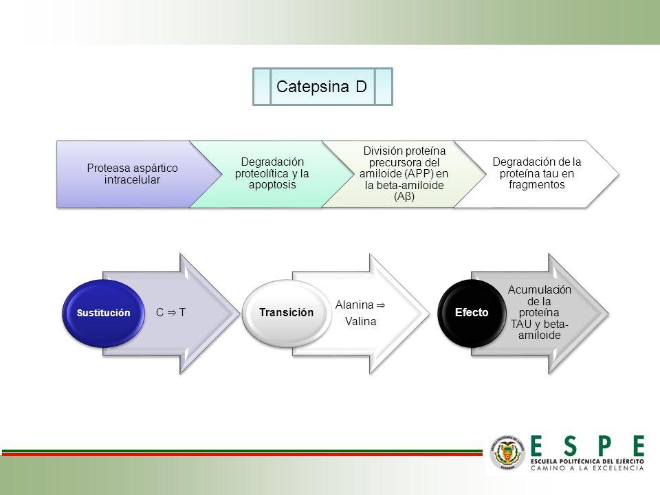 C T Sustitución Alanina Valina Transición Acumulación de la proteína TAU y beta- amiloide Efecto Catepsina D Proteasa aspártico intracelular Degradaci
