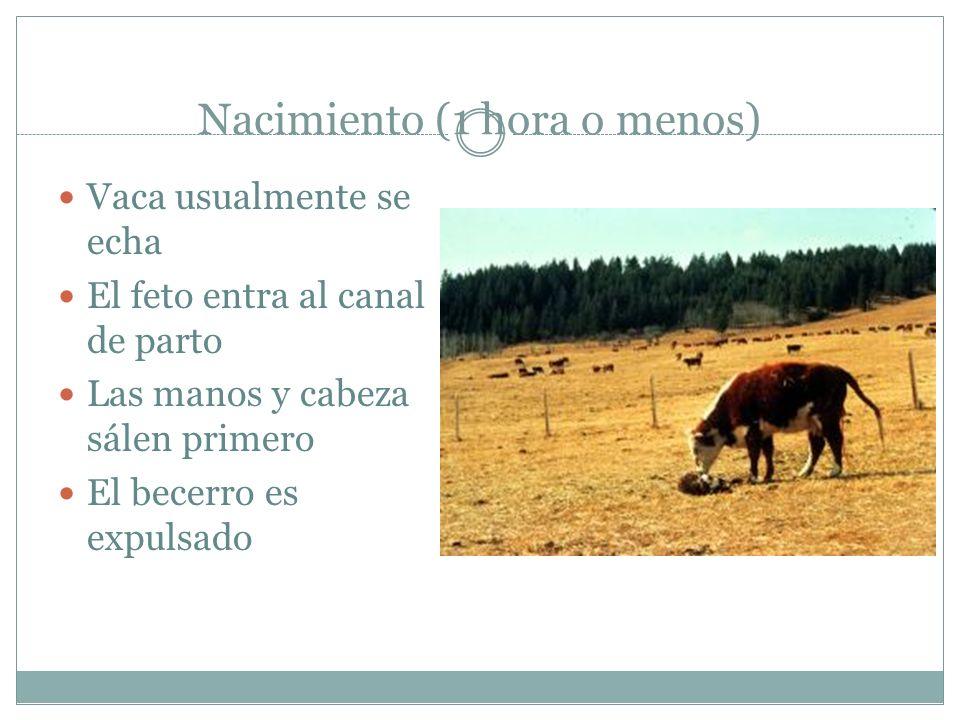 Nacimiento (1 hora o menos) Vaca usualmente se echa El feto entra al canal de parto Las manos y cabeza sálen primero El becerro es expulsado