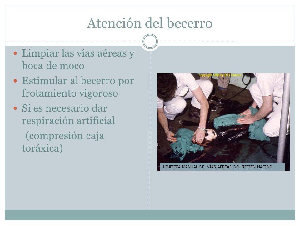 Atención del becerro Limpiar las vías aéreas y boca de moco Estimular al becerro por frotamiento vigoroso Si es necesario dar respiración artificial (