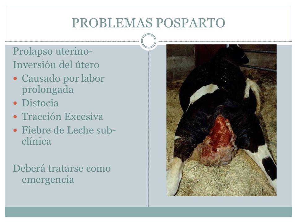 PROBLEMAS POSPARTO Prolapso uterino- Inversión del útero Causado por labor prolongada Distocia Tracción Excesiva Fiebre de Leche sub- clínica Deberá t