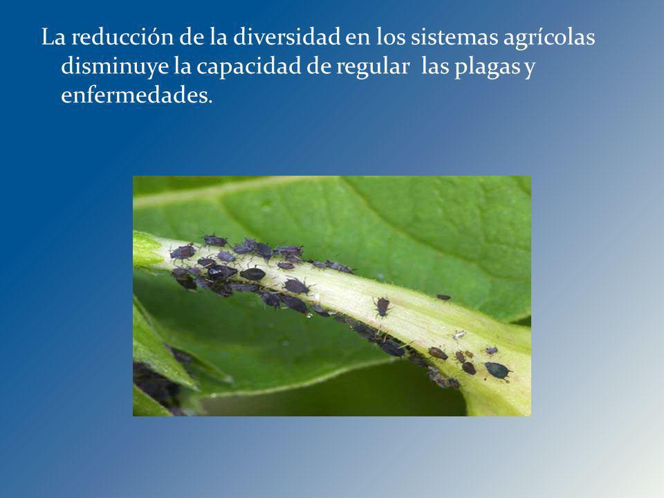 La reducción de la diversidad en los sistemas agrícolas disminuye la capacidad de regular las plagas y enfermedades.