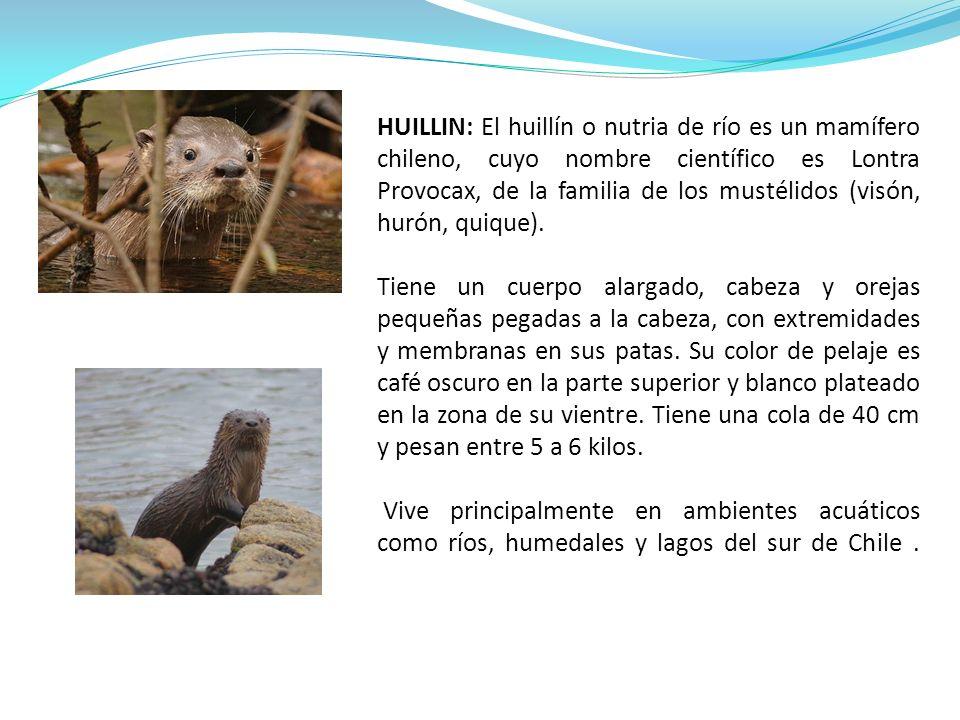 HUILLIN: El huillín o nutria de río es un mamífero chileno, cuyo nombre científico es Lontra Provocax, de la familia de los mustélidos (visón, hurón,