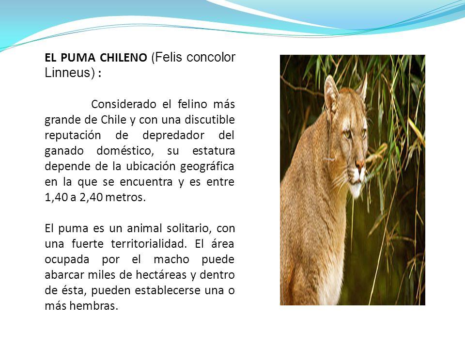 EL PUMA CHILENO ( Felis concolor Linneus) : Considerado el felino más grande de Chile y con una discutible reputación de depredador del ganado doméstico, su estatura depende de la ubicación geográfica en la que se encuentra y es entre 1,40 a 2,40 metros.