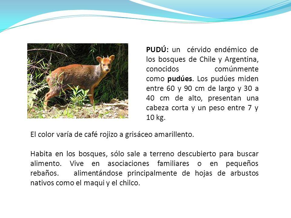 PUDÚ: un cérvido endémico de los bosques de Chile y Argentina, conocidos comúnmente como pudúes. Los pudúes miden entre 60 y 90 cm de largo y 30 a 40