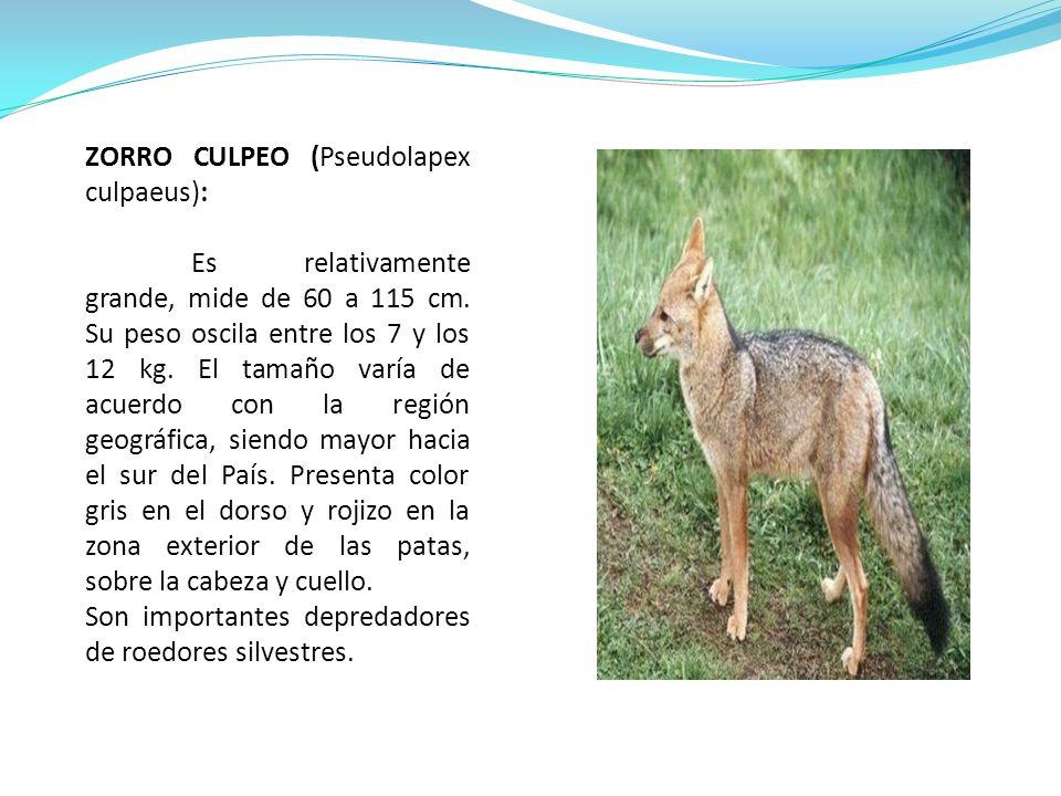 ZORRO CULPEO (Pseudolapex culpaeus): Es relativamente grande, mide de 60 a 115 cm. Su peso oscila entre los 7 y los 12 kg. El tamaño varía de acuerdo