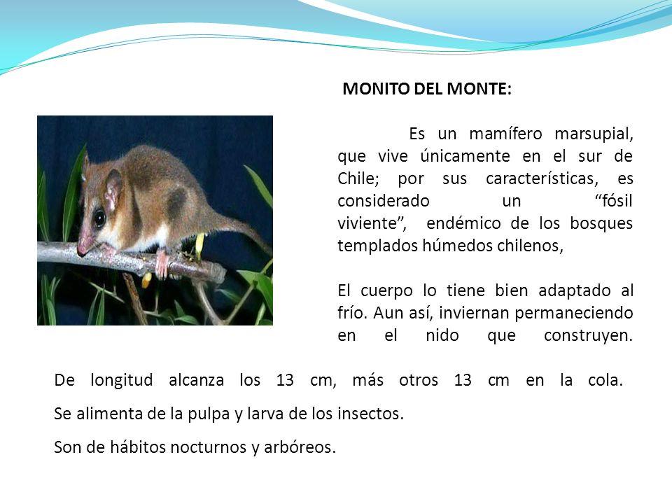 MONITO DEL MONTE: Es un mamífero marsupial, que vive únicamente en el sur de Chile; por sus características, es considerado un fósil viviente, endémico de los bosques templados húmedos chilenos, El cuerpo lo tiene bien adaptado al frío.