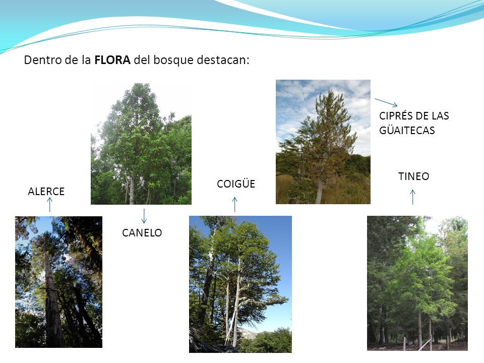 Dentro de la FLORA del bosque destacan: ALERCE CIPRÉS DE LAS GÜAITECAS CANELO COIGÜE TINEO
