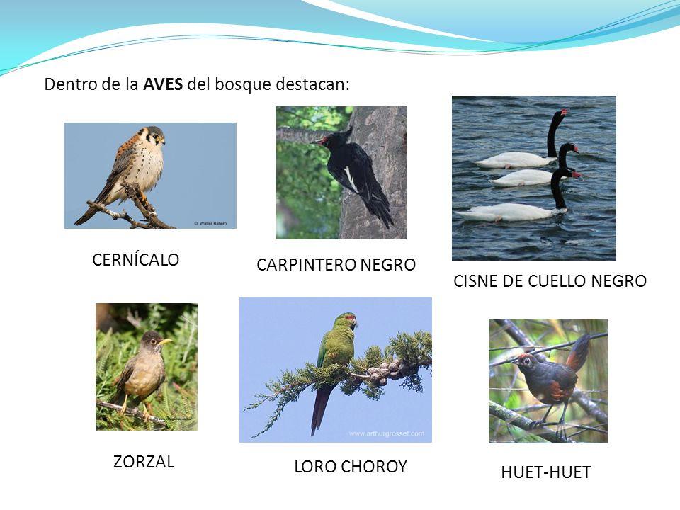Dentro de la AVES del bosque destacan: HUET-HUET CERNÍCALO CARPINTERO NEGRO ZORZAL LORO CHOROY CISNE DE CUELLO NEGRO