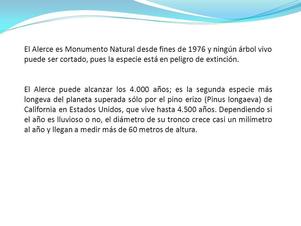 El Alerce es Monumento Natural desde fines de 1976 y ningún árbol vivo puede ser cortado, pues la especie está en peligro de extinción.
