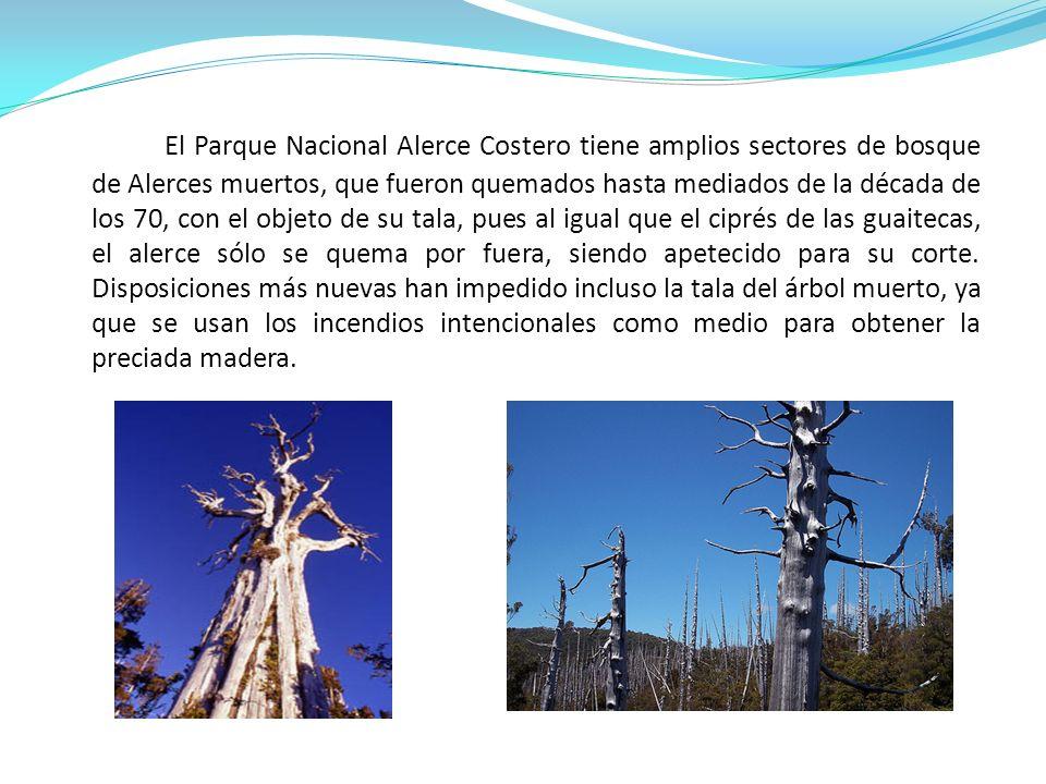 El Parque Nacional Alerce Costero tiene amplios sectores de bosque de Alerces muertos, que fueron quemados hasta mediados de la década de los 70, con
