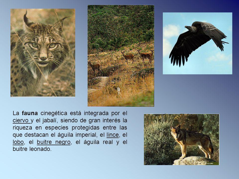 La fauna cinegética está integrada por el ciervo y el jabalí, siendo de gran interés la riqueza en especies protegidas entre las que destacan el águila imperial, el lince, el lobo, el buitre negro, el águila real y el buitre leonado.