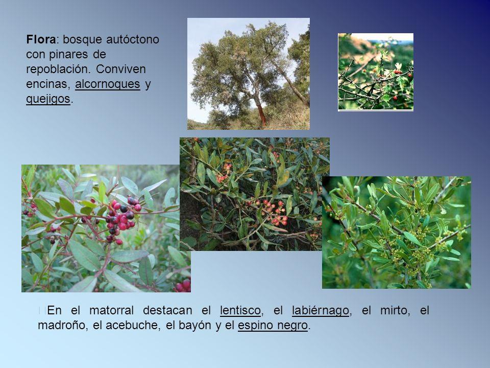 En el matorral destacan el lentisco, el labiérnago, el mirto, el madroño, el acebuche, el bayón y el espino negro. Flora: bosque autóctono con pinares